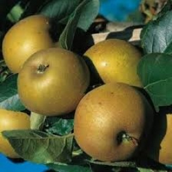 Pomme canada grise