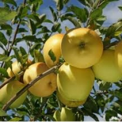pomme golden delicious